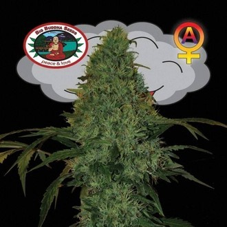 Critical Mass Automatic (Big Buddha Seeds) feminisiert