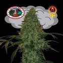 Critical Mass Automatic (Big Buddha Seeds) femminizzato