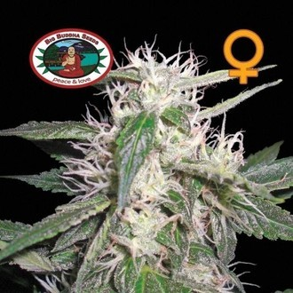 Cheese Dawg (Big Buddha Seeds) feminisiert
