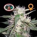 Cheese Dawg (Big Buddha Seeds) femminizzato