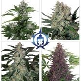 Assorted Auto (Buddha Seeds) feminized