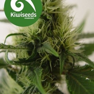 Daddy's Girl (Kiwi Seeds) feminized