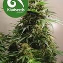Kiwiskunk (Kiwi Seeds) femminizzata