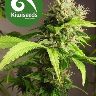Mako Haze (Kiwi Seeds) feminized