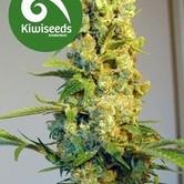 Milkyway (Kiwi Seeds) feminisiert