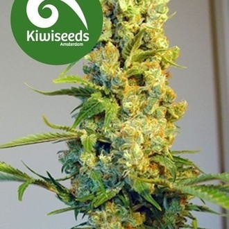 Milkyway (Kiwi Seeds) feminized