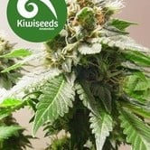 Mt Cook (Kiwi Seeds) feminized
