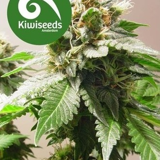 Mt Cook (Kiwi Seeds) feminisiert