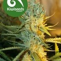 Ray's Choice (Kiwi Seeds) feminized