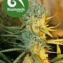 Ray's Choice (Kiwi Seeds) feminized