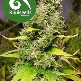 White Island (Kiwi Seeds) femminizzata