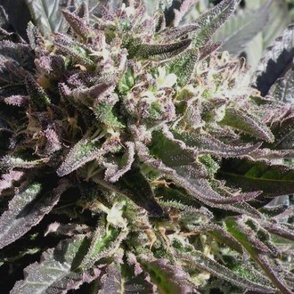 Frencheese (French Touch Seeds) feminisiert