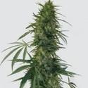 Pulsar (Buddha Seeds) femminizzato
