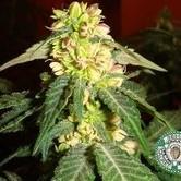 Kushadelic (Soma Seeds) femminizzata