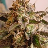 Rock Bud (Soma Seeds) feminized