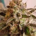 Rock Bud (Soma Seeds) femminizzata