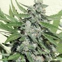 White Dwarf (Buddha Seeds) feminized