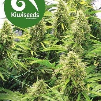 2 Pounder (Kiwi Seeds) feminized