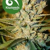 Alegria (Kiwi Seeds) feminisiert
