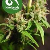 Auto Mako (Kiwi Seeds) feminisiert