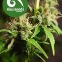 Auto Mako (Kiwi Seeds) feminized