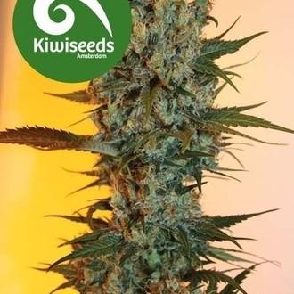 Auto Power Plant (Kiwi Seeds) feminsiert