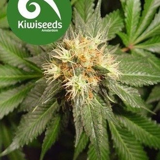 Hindu Kush (Kiwi Seeds) feminized