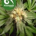 Hindu Kush (Kiwi Seeds) femminizzata