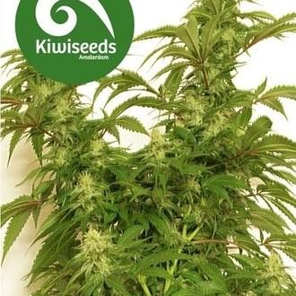 Little Dipper (Kiwi Seeds) femminizzata