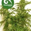 Little Dipper (Kiwi Seeds) feminized