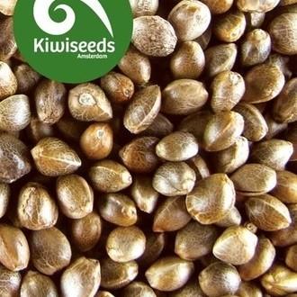 Outdoor Mix (Kiwi Seeds) femminizzata