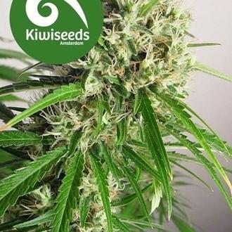 Phatt Freddy (Kiwi Seeds) femminizzata