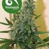 South Star (Kiwi Seeds) feminisiert