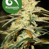Sugar Baby (Kiwi Seeds) feminized