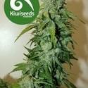 T99 (Kiwi Seeds) feminisiert