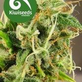Tasman Haze (Kiwi Seeds) feminisiert