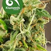 Tasman Haze (Kiwi Seeds) feminized