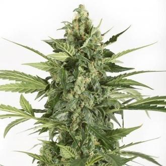 Blue Cheese Autoflowering (Dinafem) femminizzata