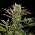 Deep Cheese (Dinafem) feminized
