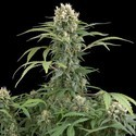 Blue Thai (Dinafem) feminized