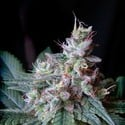 Cream Caramel - F1 Fast Version (Sweet Seeds) femminizzata