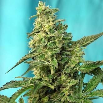 Green Poison - F1 Fast Version (Sweet Seeds) femminizzata
