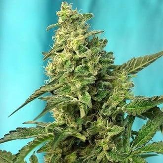 Green Poison - F1 Fast Version (Sweet Seeds) feminisiert