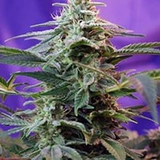 Sweet Special - F1 Fast Version (Sweet Seeds) feminized