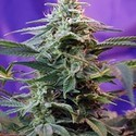 Sweet Special - F1 Schnelle Version (Sweet Seeds) feminisiert