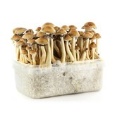 100% Mycelium Kit 'Panama' (Supa Gro)