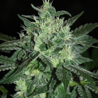 Spicy White Devil (Samsara Seeds) feminisiert