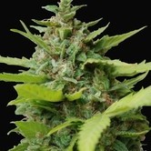 Kiss Dragon (Samsara Seeds) feminisiert
