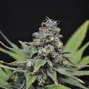 CBD Critical Mass (CBD Crew) feminized