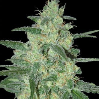 Holy Grail 69 (Samsara Seeds) feminized
